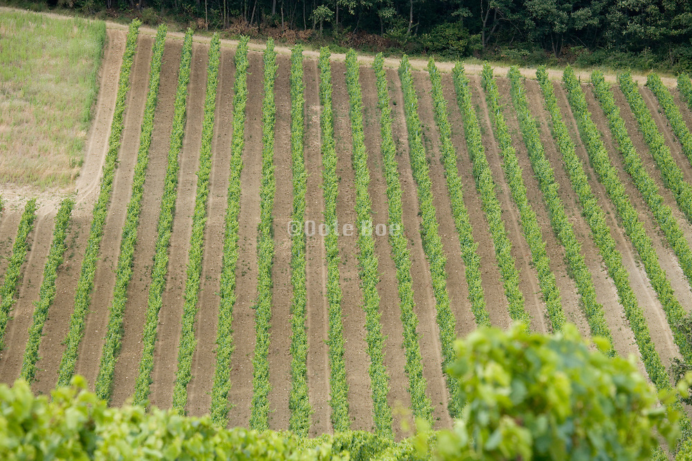vineyard in France the Languedoc Aude Razes