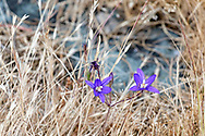 Two Harvest Brodiaea (Brodiaea coronaria) flowers in the grasses at Ruckle Provincial Park. Harvest Brodiaea is also known as Crown Brodiaea.  Photographed in the campground area at Ruckle Provincial Park, Salt Spring Island, British Columbia, Canada.