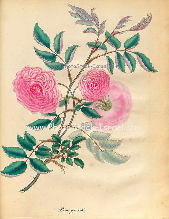 ROSA gracilis, Slender Rose From the book Roses, or, A monograph of the genus Rosa : containing coloured figures of all the known species and beautiful varieties, drawn, engraved, described, and coloured, from living plants. by Andrews, Henry Charles, Published in London : printed by R. Taylor and Co. ; 1805.