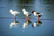 Three ducks stand in water with bowed heads