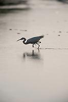 Little egret (Egretta garzetta) in lake Belau National Park, in South Moldova