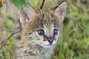 Serval<br /> Felis serval<br /> Five week old orphan serval kitten<br /> Tanzania