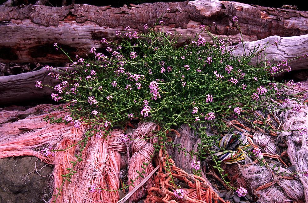 Beachfront Wildflowers near Sand Point, Olympic National Park, Washington, US