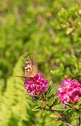THEMENBILD - Alpenrosen (Rhododendron hirsutum) wachsen vorwiegen in höheren Alpenlagen und blüht von Mai bis Juli in einem strahlenden pink. Diese bekannte Alpenpflanze wird auch als Almrausch, Almenrausch oder Steinrose bezeichnet, aufgenommen am 01. Juli 2019, Kaprun, Österreich // Alpine roses (Rhododendron hirsutum) grow mainly in higher alpine locations and bloom from May to July in a bright pink. This well-known alpine plant is also known as Almenrausch, Almenrausch or Steinrose on 2019/07/01, Kaprun, Austria. EXPA Pictures © 2019, PhotoCredit: EXPA/ Stefanie Oberhauser