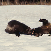 Wolverine (Gulo gulo), young kits playing together in the snow. Rocky mountains, Montana.