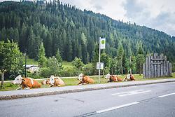 THEMENBILD - Kuehe auf der Gerlospassstraße, aufgenommen am 23. August 2019 in Gerlos, Österreich // Cows on the Gerlospassstraße, Austria on 2019/08/23. EXPA Pictures © 2019, PhotoCredit: EXPA/ Dominik Angerer