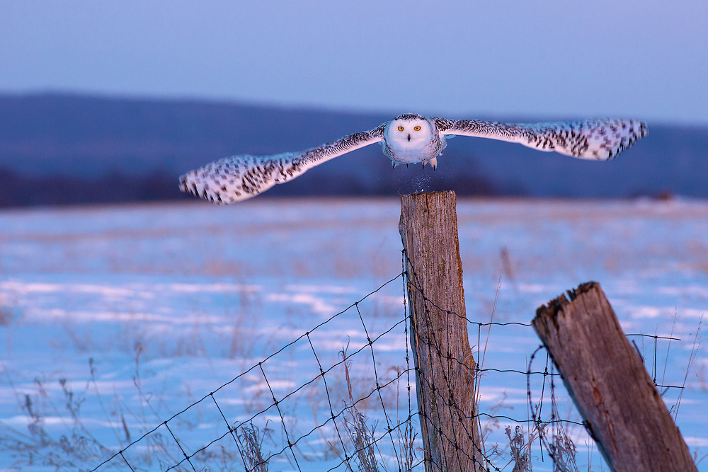 """Snowy Owl at Sunset<br /> <br /> Available sizes:<br /> 18"""" x 12"""" print <br /> 18"""" x 12"""" canvas gallery wrap <br /> <br /> See Pricing page for more information. Please contact me for custom sizes and print options including canvas wraps, metal prints, assorted paper options, etc. <br /> <br /> I enjoy working with buyers to help them with all their home and commercial wall art needs."""