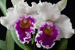 Cattleya Blc. Varut Rittenum orchid#3