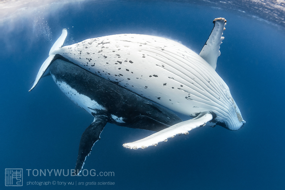 A male and female humpback whale pair, with the female above showing her abdomen and the male below.