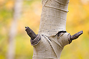 Detail of a quaking aspen (Populus tremuloides) tree trunk and knot in Rocky Mountain National Park, Colorado.