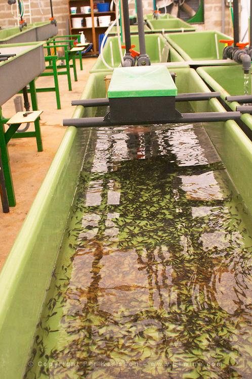 "A fish farm nursery dam pond tank for breeding sturgeon with very small fish fry spawn. Baby sturgeons  ""Caviar et Prestige"" Saint Sulpice et Cameyrac  Entre-deux-Mers  Bordeaux Gironde Aquitaine France - at Caviar et Prestige"
