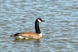 Canadian Goose or Geese (Branta canadensis)