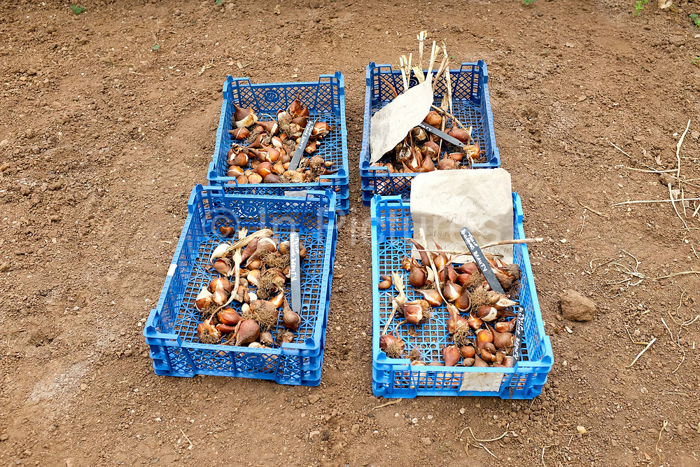 Tulip bulbs ready for planting in the garden at Tyntesfield on 21st July 2016 in North Somerset, United Kingdom.