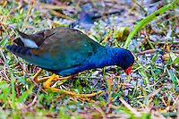 US, Florida, Everglades, Shark Valley. American Purple Gallinule.