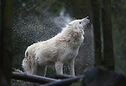 A Gray Wolf at the Woodland Park Zoo shakes the rain off with brisk efficiency. (Ken Lambert / The Seattle Times)