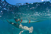 Great Hammerhead (Sphyrna mokarran) Research<br /> MAR Alliance is performing population assessments on Sharks, Rays, and Great Barracuda to aid with management and protection. They are collecting samples to determine methyl mercury levels.<br /> MAR Alliance<br /> Lighthouse Reef Atoll<br /> Belize<br /> Central America<br /> ENDANGERED SPECIES