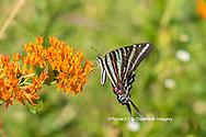 03006-00515 Zebra Swallowtail (Protographium marcellus) on Butterfly Milkweed (Asclepias tuberosa) Marion Co. IL