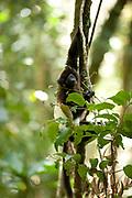 Milne Edwards Sifaka, Propithecus edwardsi, Ranomafana National Park, Madagascar, young climbing tree, Endangered on the IUCN Red List and listed on Appendix I of CITES