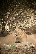Lionesses washing each other in South Luangwa National Park, Zambia