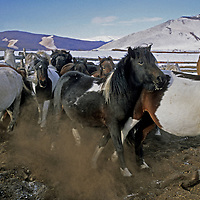 Mongolia, Darhad Valley. Horse herd prepares to leave corral for a day of grazing.