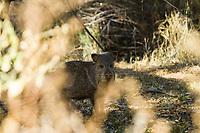 Collared Peccary or Javelina (Pecari tajacu) in Aravaipa Canyon Preserve, AZ.