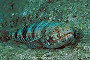 "twospot lizardfish or "" ulae "", <br /> Synodus binotatus, <br /> Kona, Hawaii, USA ( Pacific )"