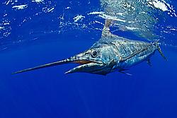 Pacific blue marlin, (Pantropical blue marlin, Makaira nigricans, or Indo-Pacific blue marlin, Makaira mazara - still debating), Kona Coast, Big Island, Hawaii, USA, Pacific Ocean