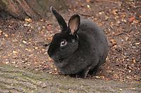Black Rabbit, ZSL London Zoo Annual Stocktake 2015, Regents Park, London UK, 05 January 2015, Photo By Brett D. Cove