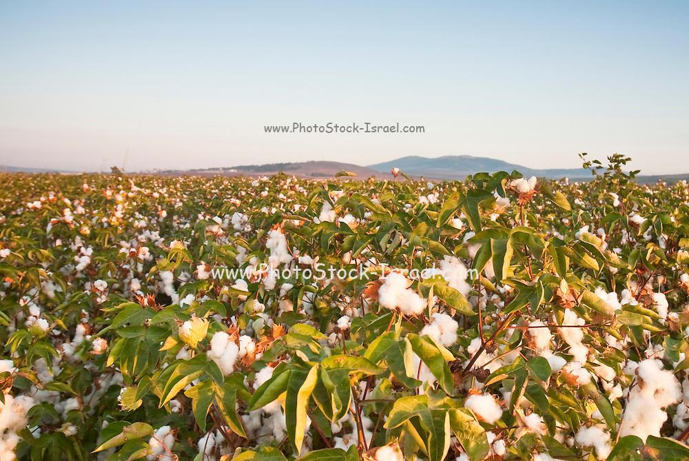 Israel, Jezreel Valley, Organic Cotton Fields