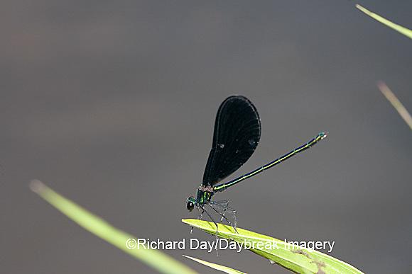 06014-001.05 Ebony Jewelwing (Calopteryx maculata) male, Lawrence Co. IL
