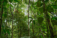 Adult female Walimah with one month old infant.<br /> Wide shot of orangutan feeding in small Fordia tree.<br /> <br /> Bornean Orangutan <br /> Wurmbii Sub-species<br /> (Pongo pygmaeus wurmbii)<br /> <br /> Gunung Palung Orangutan Project<br /> Cabang Panti Research Station<br /> Gunung Palung National Park<br /> West Kalimantan Province<br /> Island of Borneo<br /> Indonesia