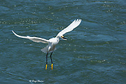 snowy egret, Egretta thula, with a fish in its bill that it has just plucked from an incoming tidal stream at Elkhorn Slough, Moss Landing, California, United States ( Eastern Pacific )