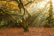 Autumnal colours and morning light surrounding a Japanese acer at Westonbirt