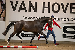 021, Stanley<br /> BWP Hengstenkeuring 2021<br /> © Hippo Foto - Dirk Caremans<br />  11/01/2021
