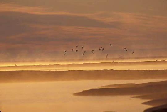 Alaska, Arctic National Wildlife Refuge. ANWR. Eiders over Arctic Ocean.