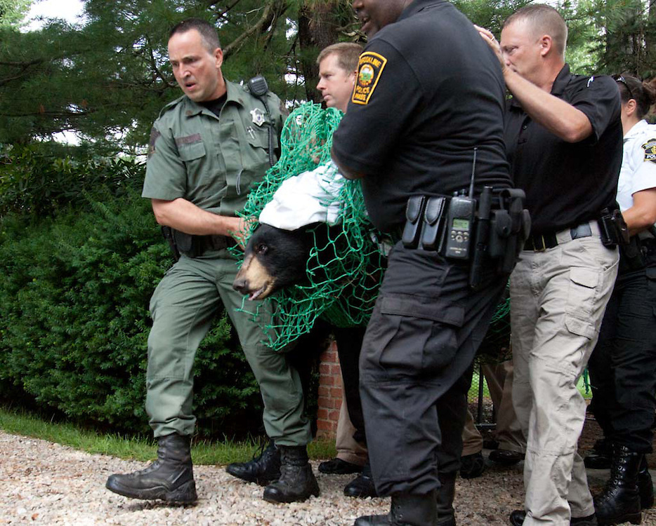 Brookline, MA 06/26/2012<br /> Police officers carry a tranquilized bear out of the backyard of a home on Pine Road on Tuesday morning.  The bear was placed in the back of a pickup loaded with ice and taken away.