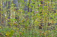Common beech (Fagus sylvatica) forest in the Southern Carpathians close to Baile Herculane, Caras Severin, Romania.