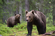 Two European brown bears, Ursus arctos, walking in the forest.