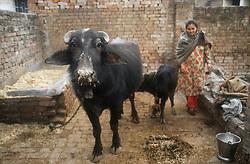 Buffalo and calf in back yard of house in Gobindigarh; Punjab; India,