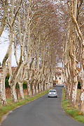 Tree lined road approaching Gasparets. Les Corbieres. Languedoc. France. Europe. Plane trees in winter.