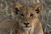 Portrait of a l lion cub, Panthera leo, looking at the camera.