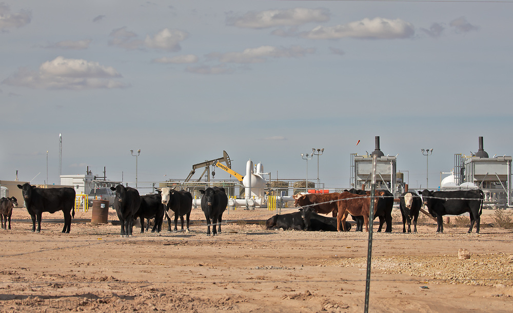 Cattle in on a site next for an oil and gas facility.