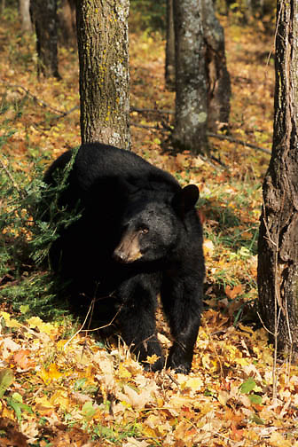 Black Bear (Ursus americanus) in a hardwood forest in the  midwest.  Captive Animal.
