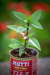 Ocimum basilicum 'Queen of Sheba' -  Basil - growing in a can