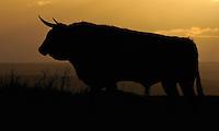 Ganado Bravo, Fighting bulls, cattle,<br /> El Bodón, Salamanca Region, Castilla y León, Spain