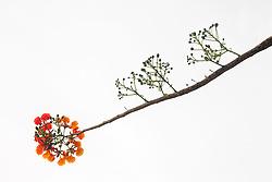 Royal Poinciana Tree Delonix Regia #29
