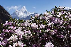 """THEMENBILD - Rhododendren, im Hintergrund die Ama Dablam (6814 m). Wanderung im Sagarmatha National Park in Nepal, in dem sich auch sein Namensgeber, der Mount Everest, befinden. In Nepali heißt der Everest Sagarmatha, was übersetzt """"Stirn des Himmels"""" bedeutet. Die Wanderung führte von Lukla über Namche Bazar und Gokyo bis ins Everest Base Camp und zum Gipfel des 6189m hohen Island Peak. Aufgenommen am 11.05.2018 in Nepal // Trekkingtour in the Sagarmatha National Park. Nepal on 2018/05/11. EXPA Pictures © 2018, PhotoCredit: EXPA/ Michael Gruber"""