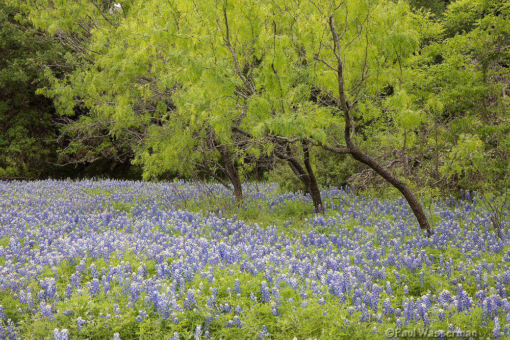 Bluebonnets on the Willow Creek Loop in Texas