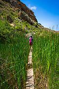 HIking through cattails in Lobo Canyon, Santa Rosa Island, Channel Islands National Park, California USA