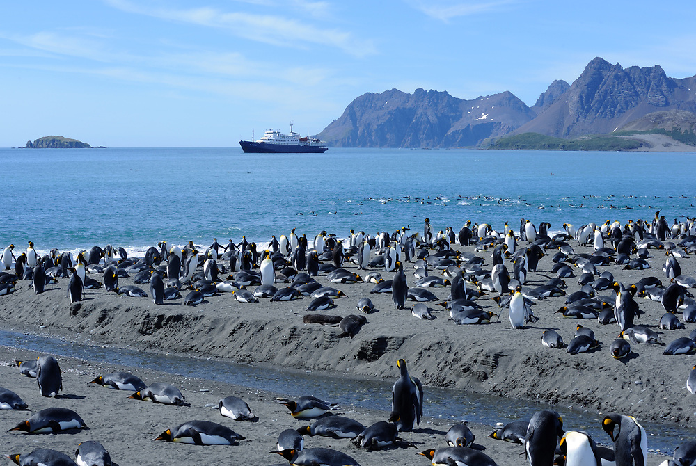 King penguins (Aptenodytes patagonicus) on the beach and in the ses below the breeding colony on Salisbury Plain. MV Plancius is anchored in the bay. Salisbury Plain, South Georgia.
